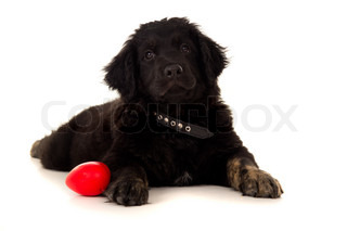 young labrador with a toy isolated