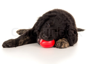 young labrador puppy chewing on a toy