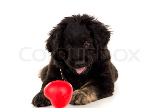 portrait of Labrador with a toy