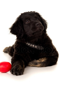 Portrait of a labrador with a toy