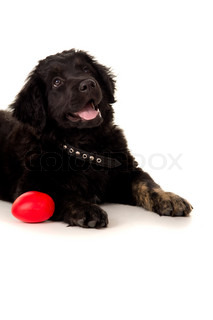 Portrait of a black labrador with a toy