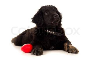 Labrador with a toy isolated on a background