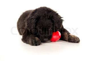 Labrador puppy chewing on a toy