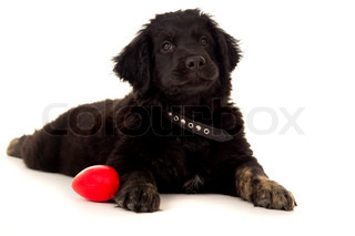 beautiful young labrador lying on the floor with a toy