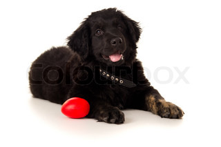 beautiful young labrador lying with toy