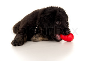 beautiful labrador with a toy in his mouth