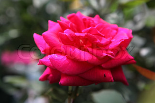 Roses - color image