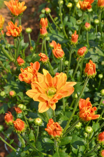 Orange Chrysanthemum blomster