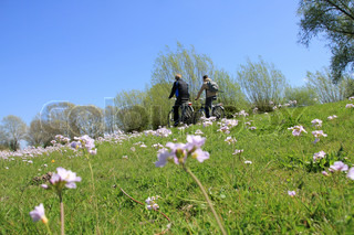 Two boyfriends are biking along a field of blooming cuckoo flowers and going to school in spring.