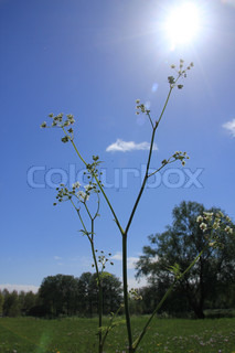 Cow parsley in the sun.