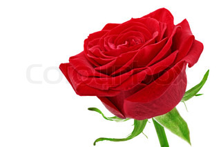 Beautiful single red  rose flower closeup.