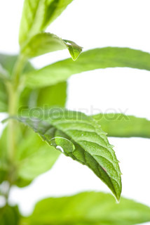 macro photo of green mint isolated on white