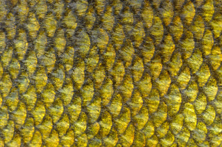 Real tench fish scales close up as background texture for Mlf fishing scale