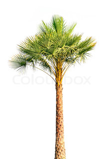 Palm tree isoleret