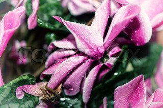 Pink Cyclamen flowers, close-up on a green meadow