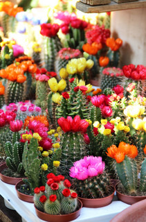 Big mix of vivid cactuses