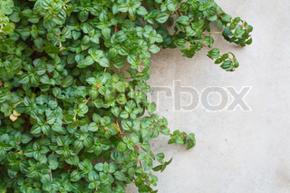 a ivy on a wall