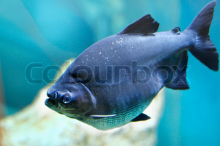 blue fish in aquarium stock foto colourbox. Black Bedroom Furniture Sets. Home Design Ideas
