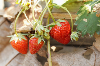 fCloseup of fresh organic strawberries growing on the vine