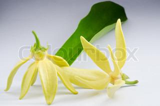 Ylang-Ylang Blumen