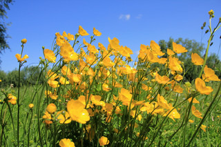 Landscape, a field of blooming buttercups, wild flowers, and buds in spring.