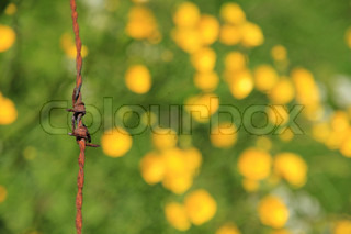 Detail, rusty barbed wire and blooming buttercups, wild flowers, in a field in spring.