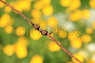 Detail, rusty barbed wire and many blooming buttercups and cow parsley, wild flowers, in spring.