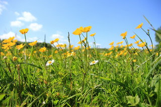Landscape, a field of daisies and blooming buttercups, wild flowers, and a blue sky in spring.