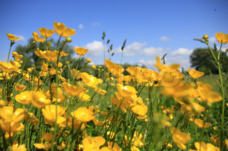 Landscape, a field of many blooming buttercups, wild flowers, buds, and a blue sky in spring.