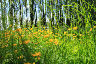 Landscape, trees, long grass and blooming buttercups, wild flowers, in spring.