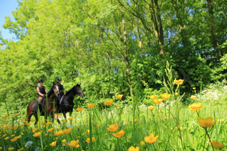 Mother and daughter, two horses, farm animals, are riding along a field of blooming buttercups in spring.