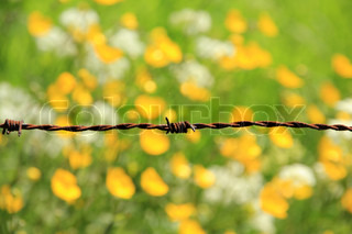 Detail, rusty barbed wire and blooming buttercups and cow parsley, wild flowers, in a field in spring.