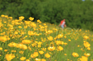 Landscape, lady in red is walking along a field of blooming buttercups, wild flowers, in spring.