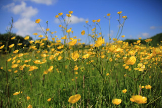 Landscape, a field of blooming buttercups, wild flowers, and a blue sky with clouds in spring.