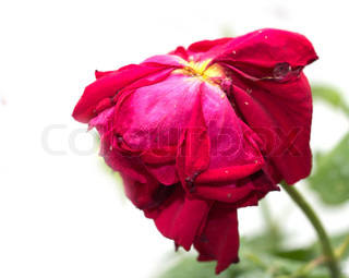 old red rose in nature