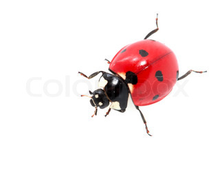 ladybug on a white background macro