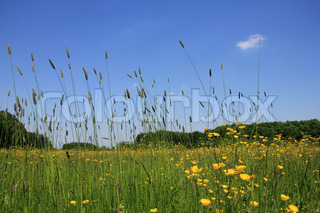 Landscape, a field with long grass and blooming buttercups, wild flowers,  and a blue sky in spring.