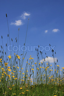 Landscape, a field with long grass and blooming buttercups, wild flowers, and a blue sky with clouds.