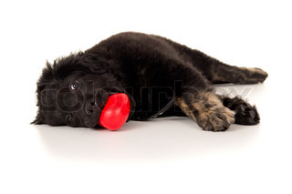 young labrador with a toy