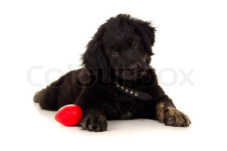 young labrador puppy with a toy isolated