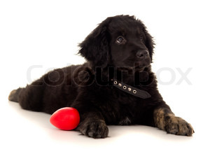 beautiful young labrador lying with toy on a white floor