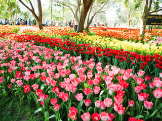beautiful tulips in the garden at flowers in winter festival Chiang Rai province Thailand
