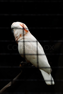 Beautiful white parrot in the cage on the black background