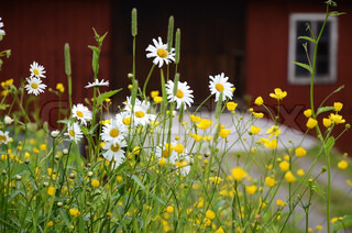 Daisies and buttercups in front of a barn building