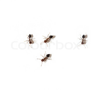 ants on a white background macro