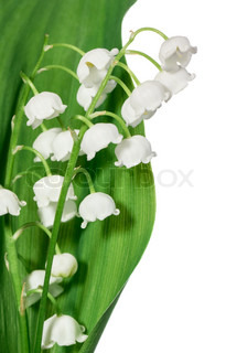 Forår blomster : Lily- of-the- dalen