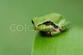Hyla tree frog on a green leaf and green background