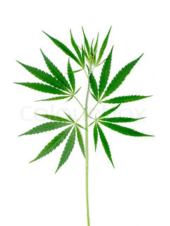 Cannabis plant isolated on a white background