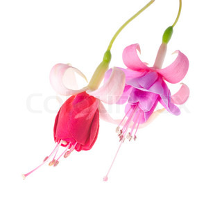 flowers of a fuchsia of different grades, isolated