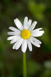 camomile flower with water droplets